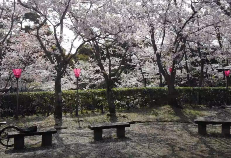 大竹市_亀居城_桜
